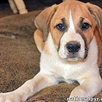 Great Pyrenees Mix Puppy for adoption in Beacon, New York - Churchill in CT - new pup!