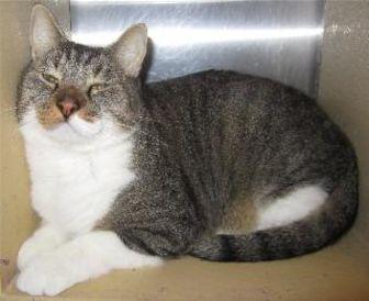 Domestic Shorthair/Domestic Shorthair Mix Cat for adoption in Schertz, Texas - Carlton aka Mr Sumo