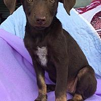 Adopt A Pet :: Mocha - Hartford, CT