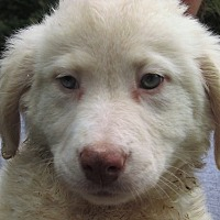 Adopt A Pet :: Lexie - Germantown, MD
