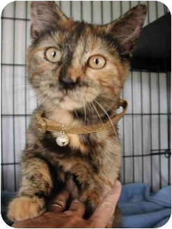 Domestic Shorthair Kitten for adoption in Fort Lauderdale, Florida - Angel B