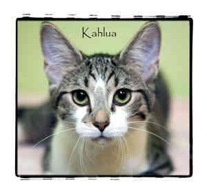 Domestic Shorthair Cat for adoption in Warren, Pennsylvania - Kahlua