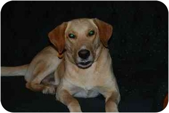 Labrador Retriever Mix Dog for adoption in Houston, Texas - Red