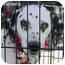 Photo 2 - Dalmatian Dog for adoption in Mandeville Canyon, California - Chelsea 3