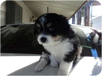 Chihuahua Mix Puppy for adoption in Morgan Hill, California - Male tri-color