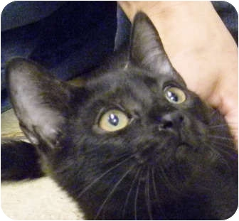 Domestic Mediumhair Kitten for adoption in Naples, Florida - Sky