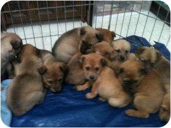 Australian Shepherd/Labrador Retriever Mix Puppy for adoption in Wasilla, Alaska - Six Lab/Aussie Puppies