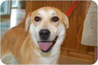 Labrador Retriever Mix Dog for adoption in FOSTER, Rhode Island - Suzzy