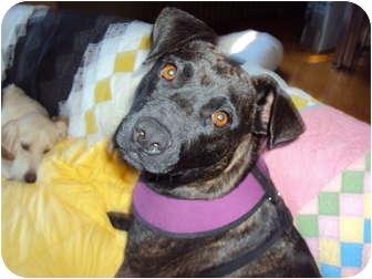 Mountain Cur/Labrador Retriever Mix Dog for adoption in berwick, Maine - Lizzie