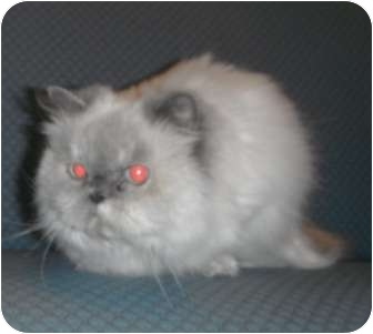 Himalayan Cat for adoption in Jackson, Michigan - Muffy