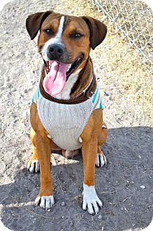Boxer Mix Dog for adoption in Corpus Christi, Texas - Bowser