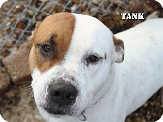American Staffordshire Terrier Dog for adoption in Cary, Illinois - Tank