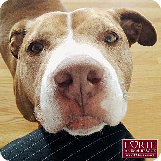 American Staffordshire Terrier/Labrador Retriever Mix Dog for adoption in Marina del Rey, California - Peach