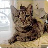 Domestic Shorthair Cat for adoption in Ocean City, New Jersey - Amaris