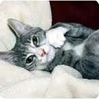 Adopt A Pet :: Halston (cuddle-bug) - Arlington, VA