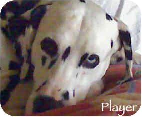 Dalmatian Dog for adoption in Mandeville Canyon, California - Player
