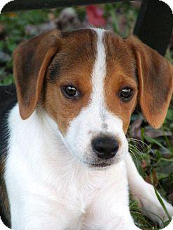 Beagle/Australian Shepherd Mix Puppy for adoption in Media, Pennsylvania - JACKAROO of the Boomerang Gang