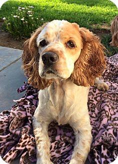 Cocker Spaniel Dog for adoption in Santa Barbara, California - Savana