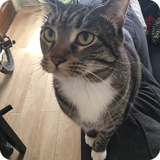 Domestic Shorthair Cat for adoption in Los Angeles, California - Thumper (bonded to Tux)