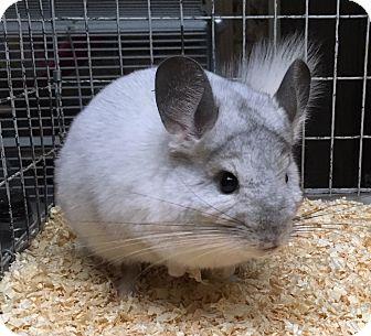 Chinchilla for adoption in Hammond, Indiana - 4m white mosaic chinchilla