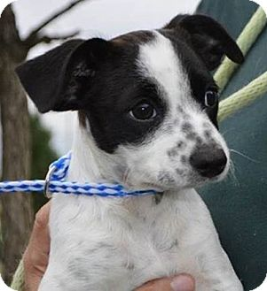 Terrier (Unknown Type, Small) Mix Puppy for adoption in Mt. Prospect, Illinois - RePeet
