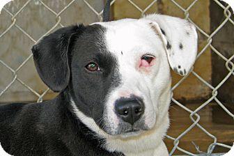 Blue Heeler Mix Puppy for adoption in Ruidoso, New Mexico - Juniper