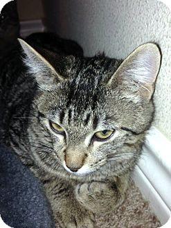 Domestic Shorthair Kitten for adoption in College Station, Texas - Fergus