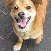 Beagle/Chihuahua Mix Dog for adoption in Roslyn, Washington - Blitz