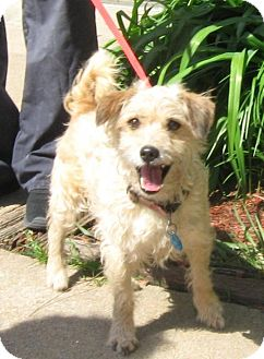 Cairn Terrier/Jack Russell Terrier Mix Dog for adoption in Stillwater, Oklahoma - Taz