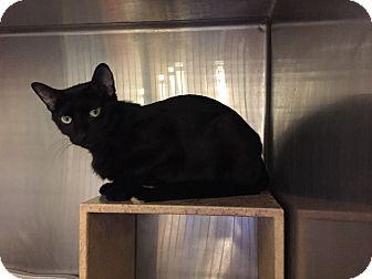 Domestic Shorthair Cat for adoption in Detroit, Michigan - Luna