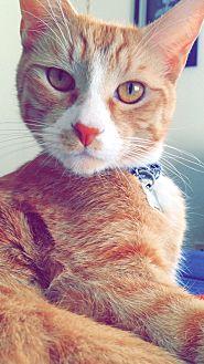 Domestic Shorthair Cat for adoption in San Bernardino, California - Bowie