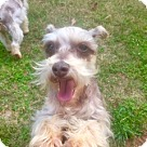 Adopt A Pet :: Adult Schnauzer Boys need to find home together