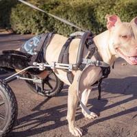 Adopt A Pet :: Bruno - Round Lake Beach, IL