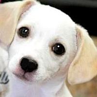 Adopt A Pet :: BENJAMIN LITTLE( ADORABLE PUP! - Wakefield, RI