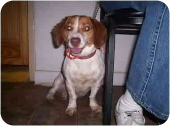 Beagle Mix Dog for adoption in Cape May Court House, New Jersey - Sassy/Pending!