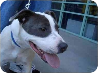 Staffordshire Bull Terrier/Pit Bull Terrier Mix Dog for adoption in Los Angeles, California - November