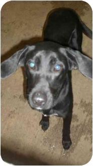 Labrador Retriever Mix Dog for adoption in Sulphur Springs, Texas - Stella