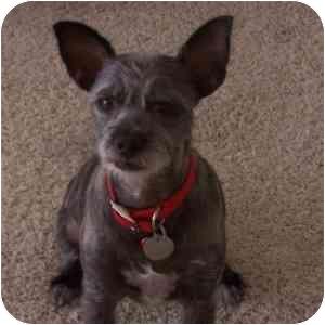 Cairn Terrier Mix Dog for adoption in Phoenix, Arizona - Lydia