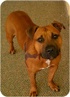 American Pit Bull Terrier/American Pit Bull Terrier Mix Dog for adoption in Plano, Texas - Grit