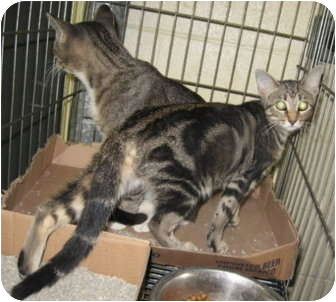 Domestic Shorthair Cat for adoption in Stillwater, Oklahoma - Raisin
