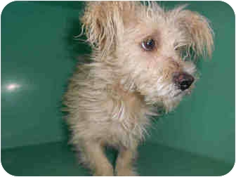 Poodle (Toy or Tea Cup) Mix Dog for adoption in Yuba City, California - Unnamed