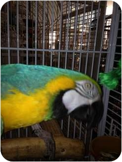 Macaw for adoption in Punta Gorda, Florida - AJ