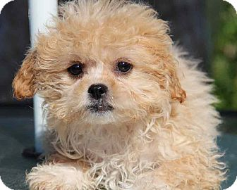 Poodle (Miniature)/Japanese Chin Mix Puppy for adoption in Yuba City, California - Annie