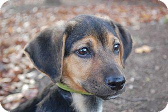 Basset Hound/Shepherd (Unknown Type) Mix Puppy for adoption in Lexington, Kentucky - Griffith