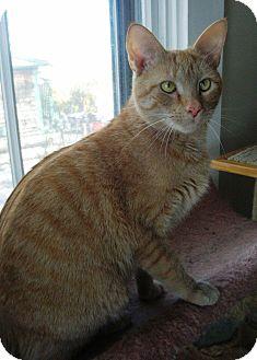 Domestic Shorthair Cat for adoption in Acushnet, Massachusetts - Maggie