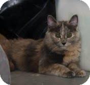 Domestic Mediumhair Cat for adoption in Okotoks, Alberta - Olivia
