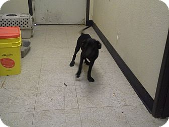 Boston Terrier Mix Puppy for adoption in Shady Point, Oklahoma - Austin