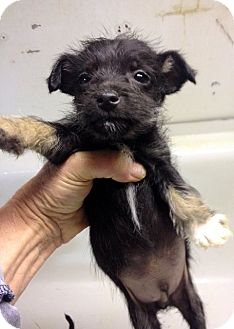 Miniature Schnauzer/Chihuahua Mix Puppy for adoption in Weatherford, Texas - *Jackson*