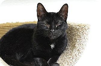 Domestic Shorthair Cat for adoption in Atlanta, Georgia - Eclipse 13123