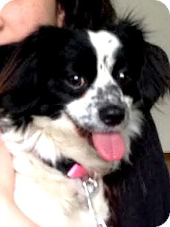 Spaniel (Unknown Type) Mix Dog for adoption in San Francisco, California - Lucy